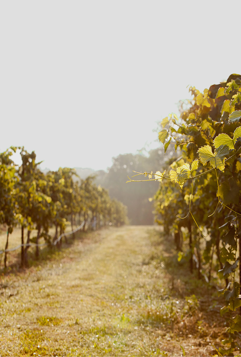 Vineyard Harvest, missouri wineries, missouri vineyard