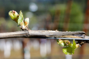 vineyard viticulture