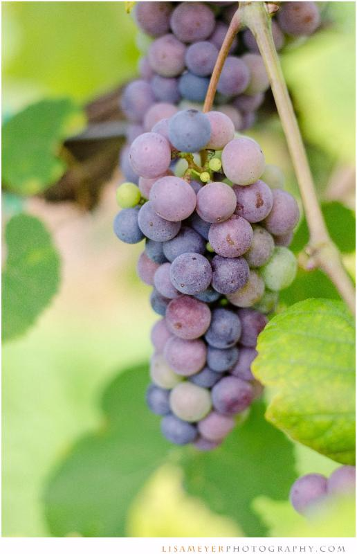 What is veraison?